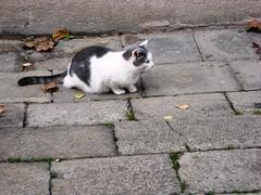 celestia cat
