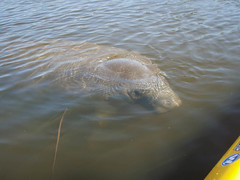 Manatee on my left