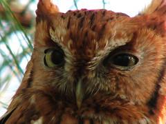 Close up of screech owl