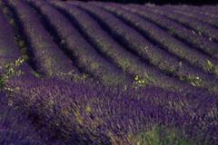Profumi di Provenza (franz75) Tags: flowers france flower nikon lavender provence fiori fiore francia provenza lavanda f55 wowiekazowie