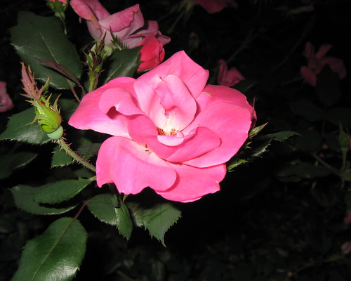 Roses at night