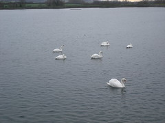 (Lady P.P.) Tags: water swans tring