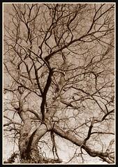 sepia tree (Romeo66) Tags: tree sepia branches limbs silv photofaceoffwinner pfosilver