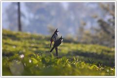 Happy times (Intrudr) Tags: birds nikon estate tea bulbul valparai d40 mohanraj nikond40 malayalikkoottam kfm3 malayalikkottamkfm3 expeditiontodewilds mohanrajk mohanrajnet