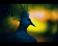 Victoria Crowned Pigeon (_DSC5739) (Fadzly @ Shutterhack) Tags: park travel blue vacation holiday hot bird nature up d50 catchycolors asian interestingness nikon asia published close zoom pigeon natureza natur natuur fast natura victoria telephoto malaysia tropical tropic asean lumpur equator humid publish mys pavone crowned birdpark  maleisi charakter  piegeon explored  sigmaapo70200mmf28exdghsm nikonstunninggallery kalikasan shutterhack featuredonadidapcom
