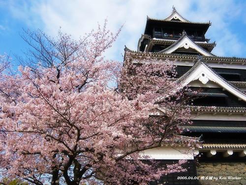 櫻花盛開的感恩季節_熊本城
