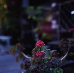 flower (funiku_ookami  /) Tags: tokyo kodak e100vs kudanshita smrgsbord aficionados p8028 zenzabronica zenzanon ficionados