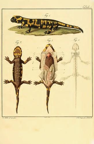 Salamander anatomy