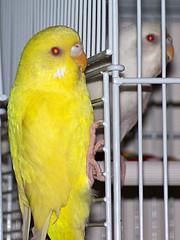 busted! (Neitar Khaless [recoil]) Tags: bird budgerigar budgie parakeet