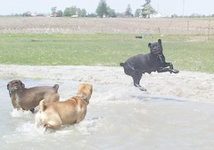 Napoleon (Mastweiler), Rex, and Maggie Playing in the pond (muslovedogs) Tags: playing dogs maggie napoleon rex canecorso mastweiler