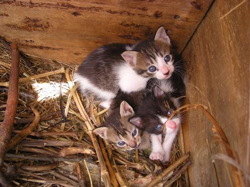 DSCN2605 - Tres hermanos (SemiTigre Vaca y Tigre)ojos azules
