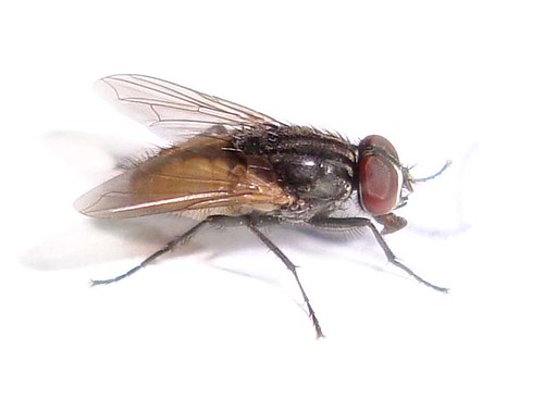 Housefly. Image courtesy yimhafiz