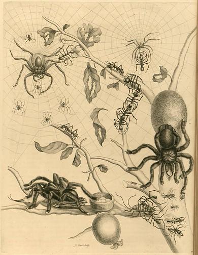 Metamorphosibus Insectorum Surinamensium (p46)
