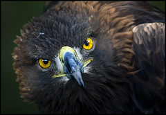 Golden eagle in very fierce mood. (hawkgenes) Tags: nature birds wildlife eagles goldeneagles avian birdsofprey supershot specanimal vosplusbellesphotos