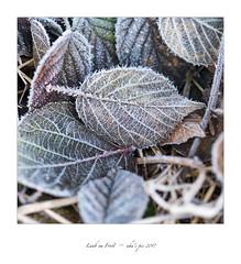Laub im Frost (uhu's pics) Tags: fujifilm 90mm fujinon xpro2 xpro fuji leaves blatt blättern frost laub xp2