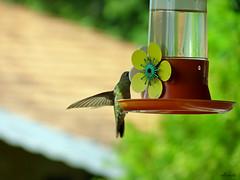 Beija-Flor - Hummingbird (eskema®) Tags: bird lumix naturemasterclass eskema® fz35