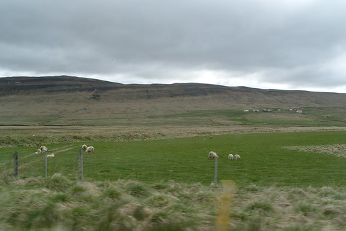 icelandic sheep!