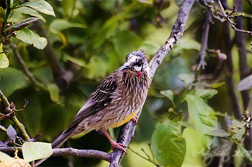 Bird on Lemon Tree