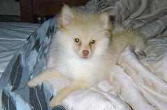 first morning home (kelaltieri) Tags: bear new dog puppy fuzzy nj pomeranian mahwah