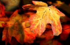 Maple leaves (Uncle Phooey) Tags: autumn red orange color fall leaves yellow closeup canon leaf colorful fallcolor ozarks mapleleaves colorfulleaves xti canonxti unclephooey