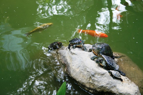 A Bale of Turtles and some Koi