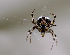 Lauernde Spinne 3 / lurking spider 3 (Juergen Kurlvink) Tags: voyage trip travel autumn vacation macro berlin nature animal animals closeup germany garden geotagged deutschland tiere spider europa europe tour close shot spiders web urlaub herbst natur spiderweb eu 2006 cobweb spinne nah closeshot makro ourgarden allemagne garten ferien nahaufnahme tier netz reise spinnennetz arachnida spinnen spandau juergen bln aufnahme spinnentiere kladow unsergarten 0fav kurlvink goldstaraward kurli1 0allok 0nah