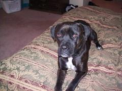 I love my muttface (Honey Lissa) Tags: dog black mutt boxer vader pitt stub