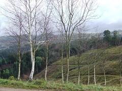 Abedules en Monte Corona (Isabel Castro Ahedo) Tags: forest cantabria montecorona lahayuela bosqueatlntico