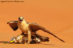 strength, nobility, and pride (Abdullateef Al Marzouqi) Tags: al desert uae falcons ain d300 laati