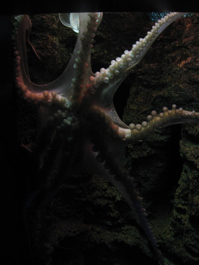 VA Aquarium - Octopus