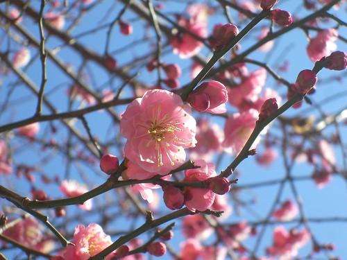 ピンクのお花がきれい