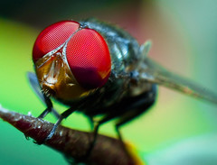 Face to face (Kuya D) Tags: park red macro nature colors face closeup insect 50mm fly bokeh outdoor philippines explore diptera nikonian d80 mywinners nikond80 superbmasterpiece pinoykodakero excapturemacro