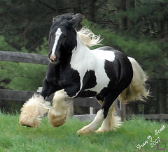 Valentino - Ivy's Future Beau (for 2010...small change in plans!) (Dog Is Love) Tags: horse val cob gypsy stallion valentino tinker vanner mywinners horsesrule remmepark ivysfuturebeau photoscopyrightfranjscott