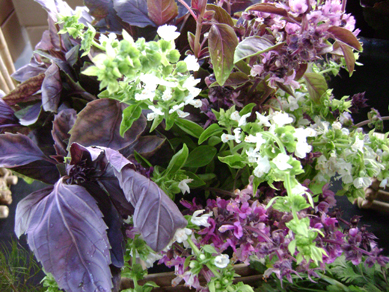 blooming basil at Maya's farm