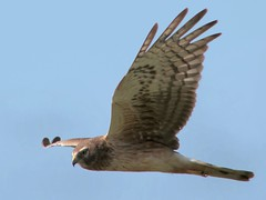 Low-flying harrier (wolfpix) Tags: bird birds hawk birding pssaro uccelli falcon pajaro flickrcentral vgel  birdwatching oiseau vogel oiseaux uccello  greifvgel faucon  naturalmente naturesfinest voicesinthewilderness thenatureconservancy  northernharrier marshhawk circuscyaneus  rapaces flickrtoday supershot emvoo   canonpowershots3is wingedwonders abigfave  anawesomeshot avianexcellence avesrapaces excellentphotographerawards thenaturegroup  natureislovely feathersbeaksbirds fieldguidetobirdsoftheworld earthsmiles100comments 100commentgroup thewonderfulworldofbirds