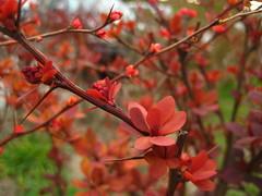 red berberis bush with thorns/Roter Strauch mit Dornen (_carabina_) Tags: red plant rot nature bush natur pflanze natura rosso strauch shrubbery busch berberis arbusto berberitze cespuglio helmondpillar redberberis roteberberitze