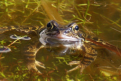 relaxed... (atsjebosma) Tags: reflection nature sunshine garden happy spring pond thenetherlands natuur frog tuin groningen relaxed lente soe kikker vijver blij reflectie kissthefrog zonneschijn golddragon mywinners natureselegantshots multimegashot