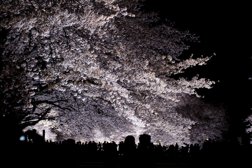 sakura light-up 13