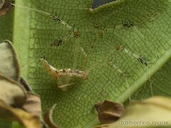 Long hairy limbs (Malaysian Spiders) Tags: macro nature spider arachnid olympus malaysia zuiko theridiidae araneomorphae 35mmmacro35 chrysso