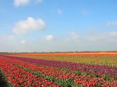 DSCN4948 (maikel.zonneveld) Tags: bollenveld bloembollen bobeldijk
