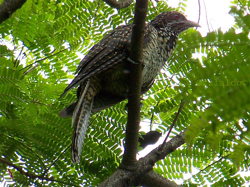 Tuwu  @ Asian Koel (Female)