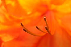 Rhododendron_120508_21 (alstroemeria1) Tags: orange schweiz pflanzen luzern rhododendron ericaceae makro garten farben kriens blten amstutzstrasse pflanzensystematisch