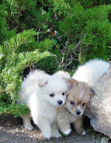 Pomeranian+poodle+puppies