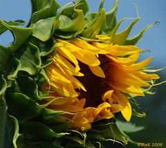 Here's some sunshine! (RitaK.) Tags: flower nature sunflower blueribbonwinner lifeasiseeit myflowergarden d80 mywinners damniwishidtakenthat flickrsawesomeblossoms wishitookthat