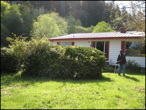 Giant evergreen type bush before removal