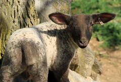lamb #50
