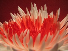 Chrysanthemum ( Graa Vargas ) Tags: red explore chrysanthemum bicolor excellence crisntemo interestingness132 i500 graavargas meditativered 2007graavargasallrightsreserved 182842240310
