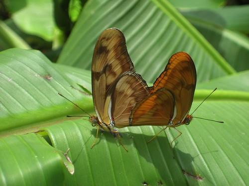 Butterfly twins