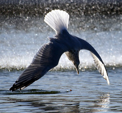 What Goes Up, Must Come Down... (law_keven) Tags: lake paris france bird water birds seagull gull feathers avian feathery featheryfriday explore500 avianexcellence