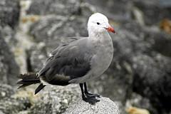Heermann's Gull, Monterey Bay, CA (flyingibis) Tags: